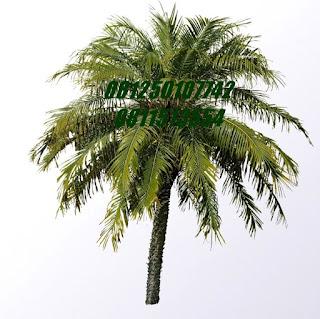 Palm Phonix | Jasa Tukang Taman Surabaya