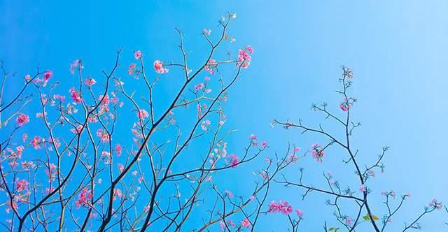 Có một Sài Gòn mộng mơ mùa hoa kèn hồng nở rộ - Ảnh 8