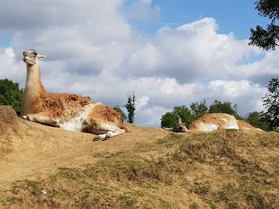 lamas-et-alpagas-en-liberte-au-contact-du-public