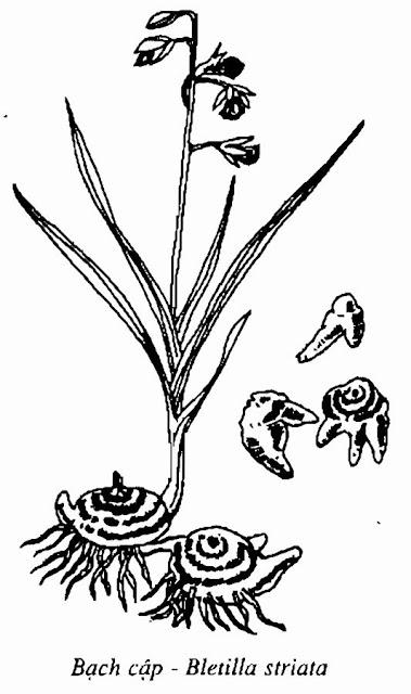 Hình vẽ BẠCH CẬP - Bletilla striata - Nguyên liệu làm thuốc Chữa Ho Hen