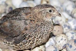 Budidaya burung puyuh organik dengan teknologi produk organik NASA