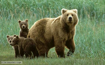 Bears - Omnivores animals
