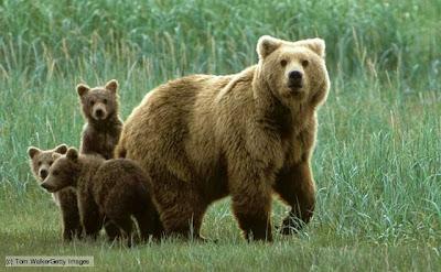 Bears - Omnivores animals