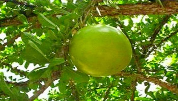 manfaat buah maja
