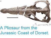 https://sciencythoughts.blogspot.com/2013/08/a-pliosaur-from-jurassic-coast-of-dorset.html