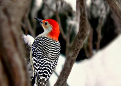 https://www.etsy.com/listing/88684104/woodpecker-bird-photography-red?ref=favs_view_2
