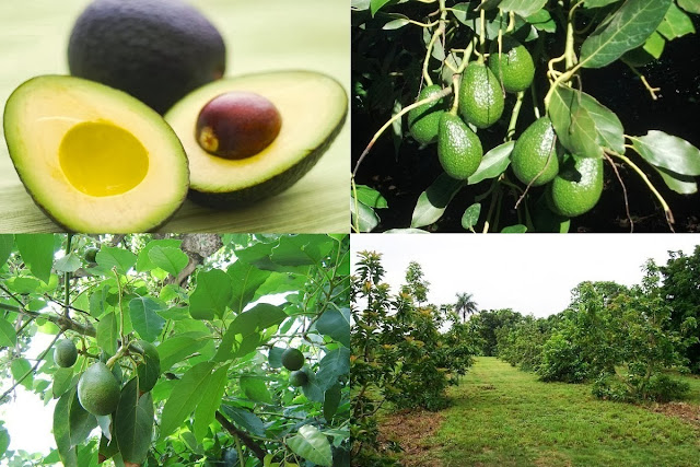 How-to-Start-an-Avocado-Pear-Farm-Business