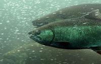 Migrating Chinook salmon.