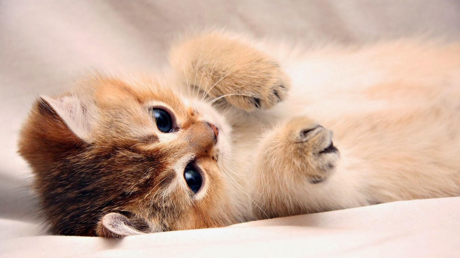Hd wallpapers free high definition desktop backgrounds - Cute kitten backgrounds for desktop ...