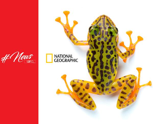 Striking Yellow – Black Rain Frog Found - National Geographyc