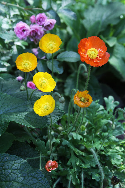 garden, icelandic poppies, poppies, roses, pink grootendorst, Anne Butera, My Giant Strawberry