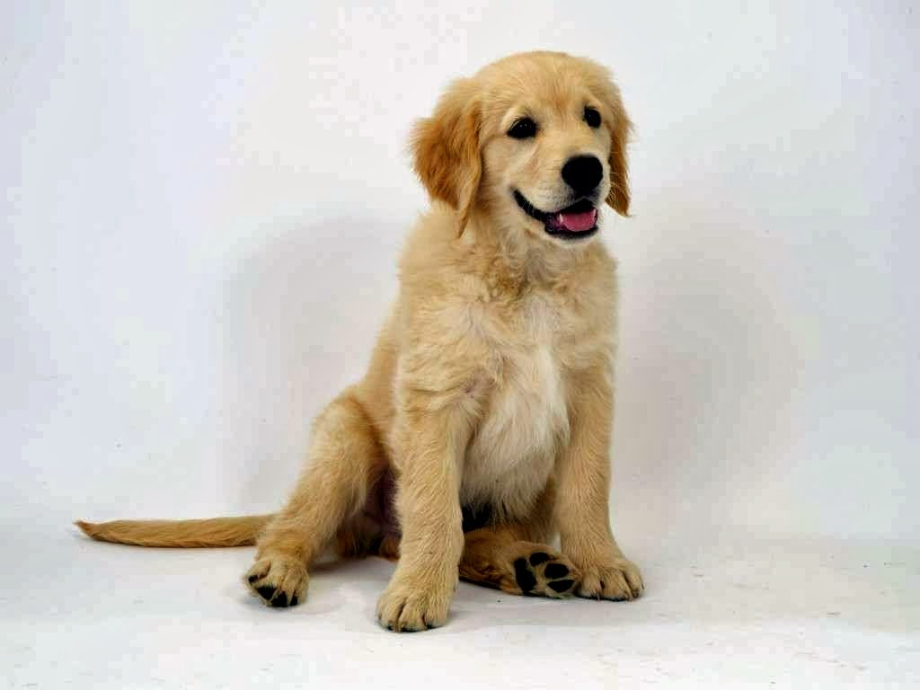 Libro Golden Retriever Aqui Fotos De Cachorros Golden Retriever Super 4 Patas