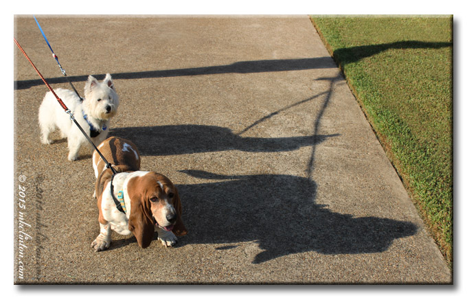 Bentley Basset hound and Pierre Westie with their shadows