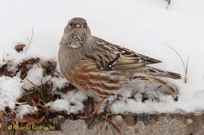 Acentor alpino (Prunella collaris)