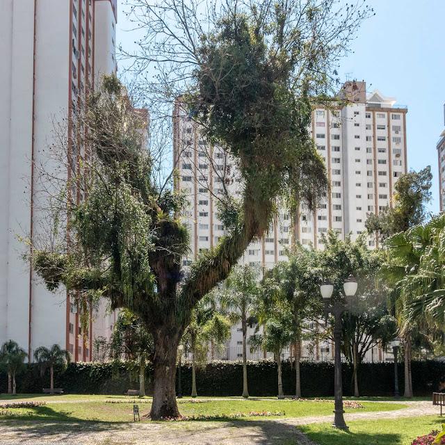Nogueira-pecan (Carya illinoesis) na Praça Didi Caillet
