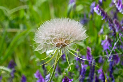 goat's beard seed head