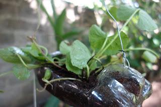 bottle, bottlewall, green, homegardening, gardening ideas, vertical garden,garden wall