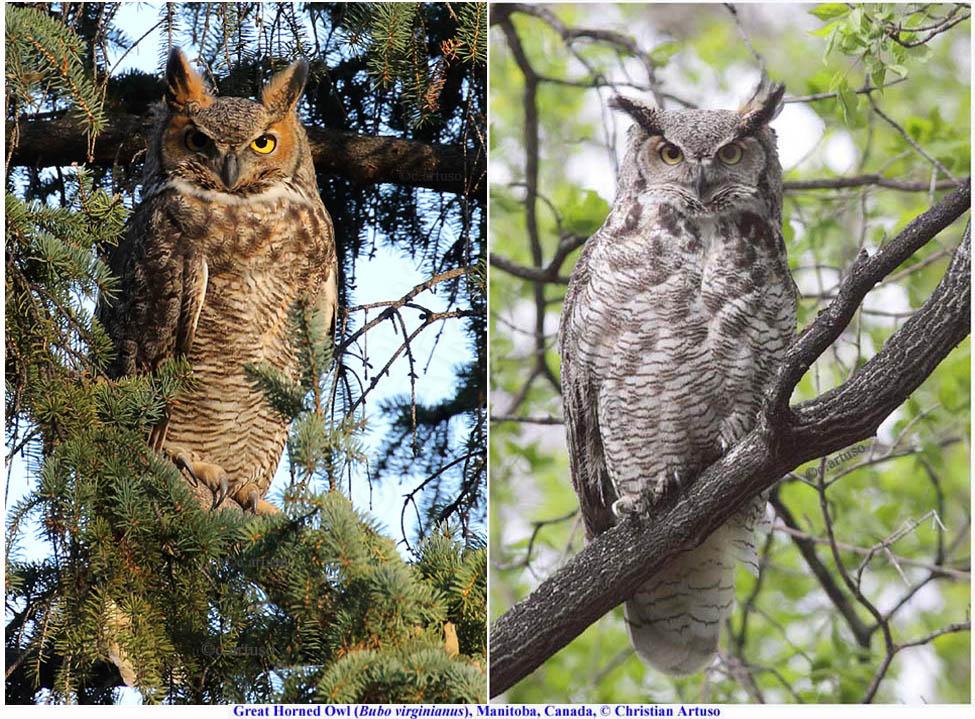 Christian Artuso: Birds, Wildlife: Great Horned Owl (Bubo ... - photo#9