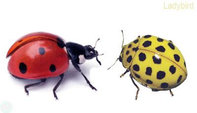 Ladybird,Ladybird insect,