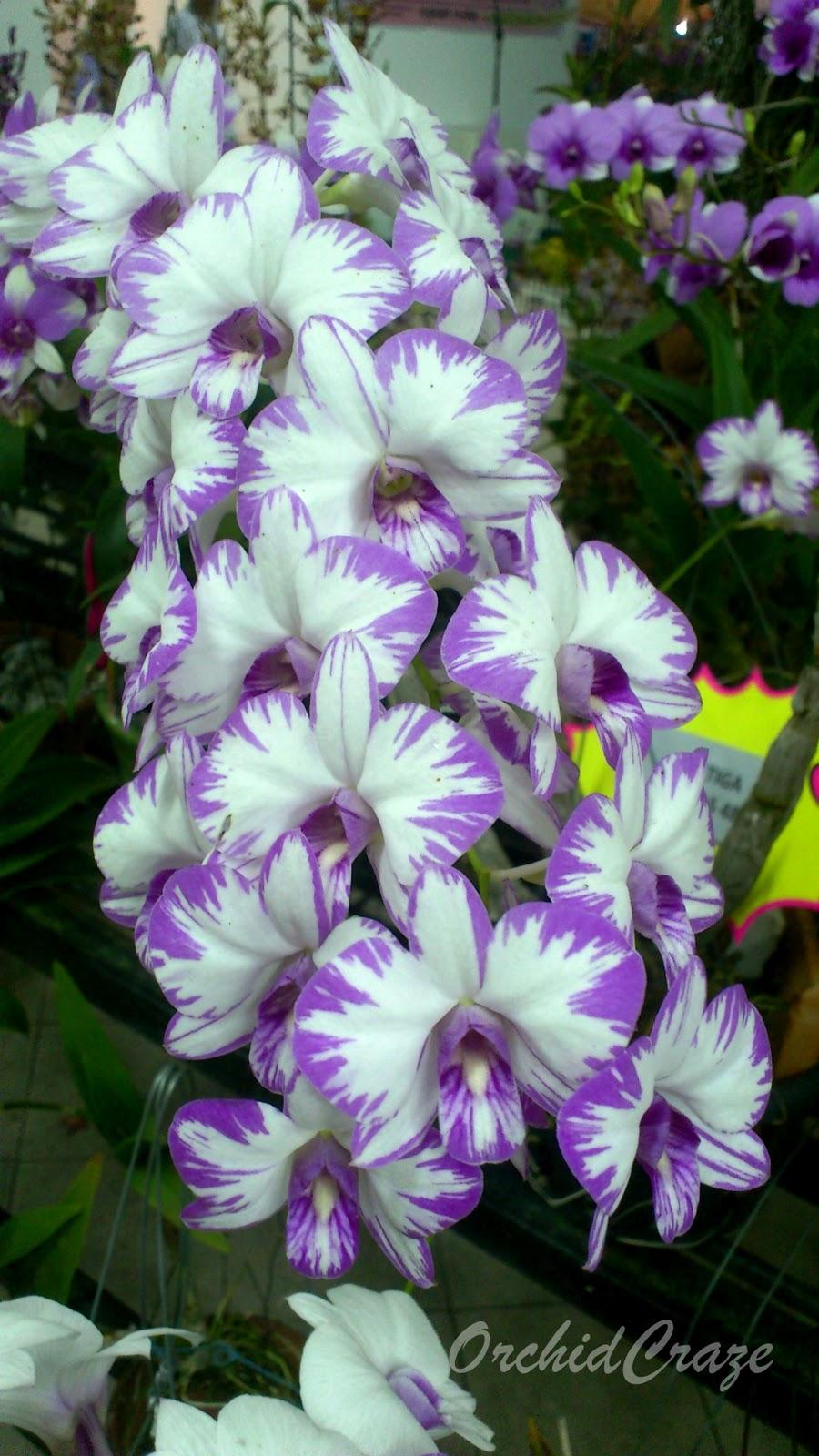 Dendrobium Orchid: OrchidCraze: Kulim Orchid Show November 2011
