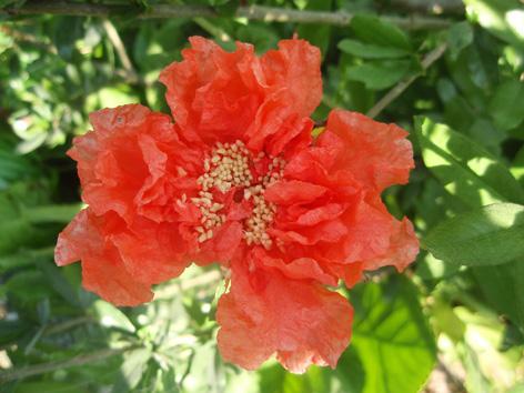 flor del granado