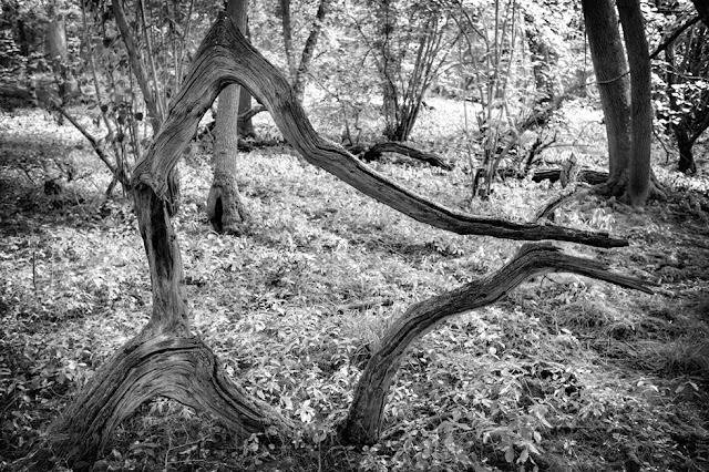 Weather worn old tree formed into a work of art in the woodland of Hayley Wood Nature Reserve