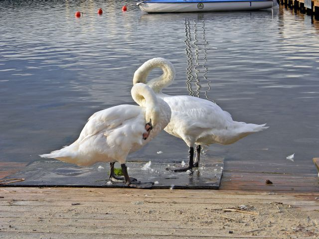ptaki wodne, jezioro, Niesłysz, Niesulice