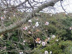 龍宝寺の十月桜