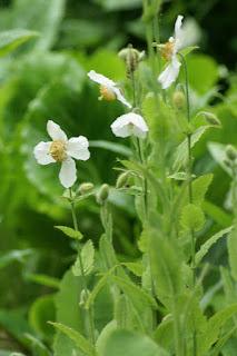 Pavot bleu de l'Himalaya - Forme à fleurs blanches
