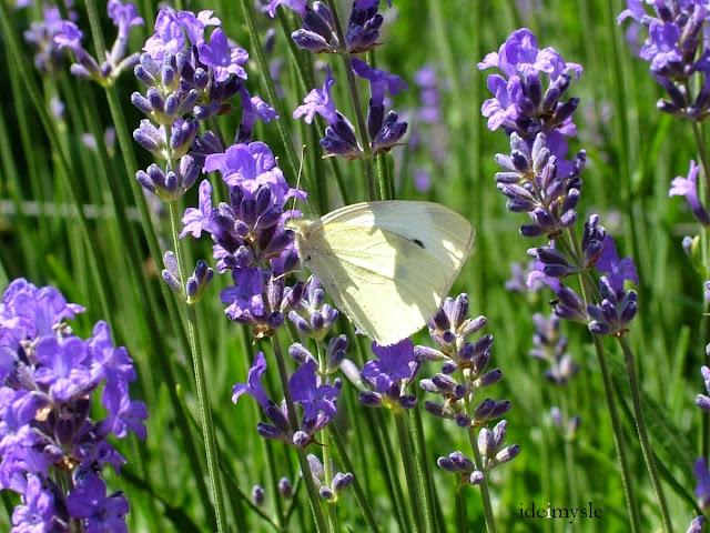 kwitnaca lawenda, zapach lawendy, bielinek kapustnik, jadalne kwiaty, ozdobne rośliny jadalne, zioła przyprawowe, przyprawy