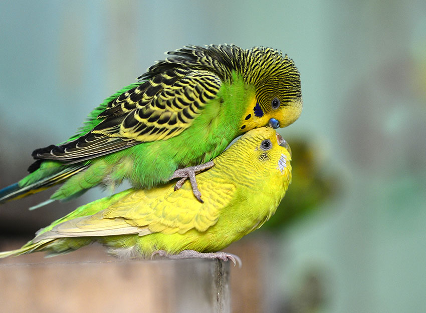 BUDGIES BREEDERS PLANET