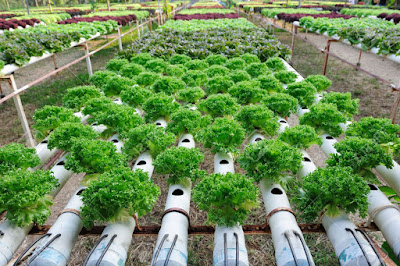 Contoh Tanaman Hidroponik Dan Cara Menanamnya Kebun Sayuran