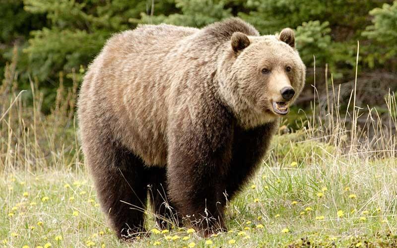 El Oso Grizzly - Animales del Mundo