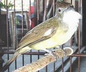Burung Cucak Jenggot - Ciri Ciri Burung Cucak Jenggot Jantan dan Betina - Penangkaran Burung Cucak Jenggot