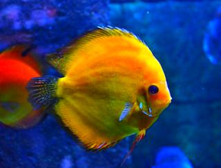 Gambar jenis ikan discus