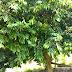 Ini rupanya pokok Kundang