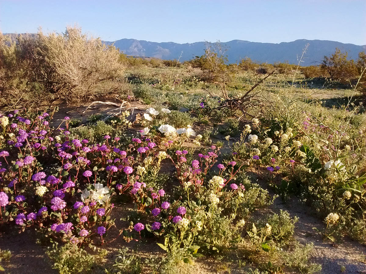 Trip report birds of borrego springs march 12 2017 greg in san a carpeting of wildflowers at old springs road osp borrego springs california mightylinksfo