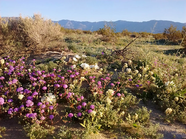 A carpeting of wildflowers at Old Springs Road OSP, Borrego Springs, California