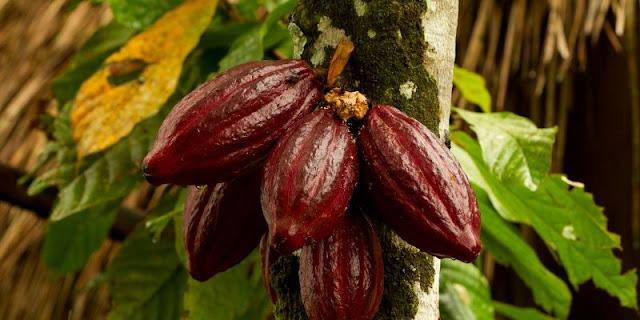 kaliklatak plantation banyuwangi east java, kaliklak coffe plantation.