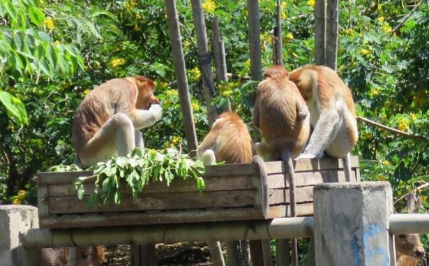 Intip Lebih Dalam Lagi Mengenai Mitos Dari Monyet Bekantan