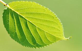 Classificação das folhas quanto à sua nervação