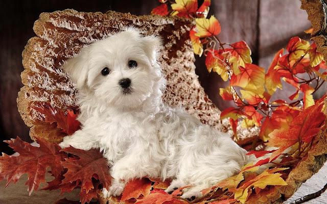 Maltezer op de foto tussen de herfstbladeren
