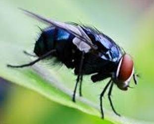 tali penangkap lalat