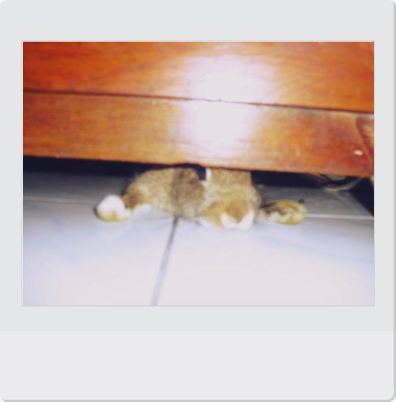 kelinci mini netherland dwarf