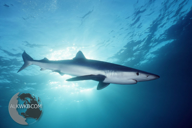 Great blue shark