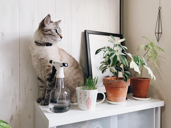 観葉植物と猫草を置いた棚の上に座っているシャムトラ猫