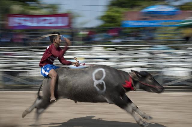 Bangkok Buffalo Races in Pictures