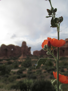 globemallow, wildflower, utah