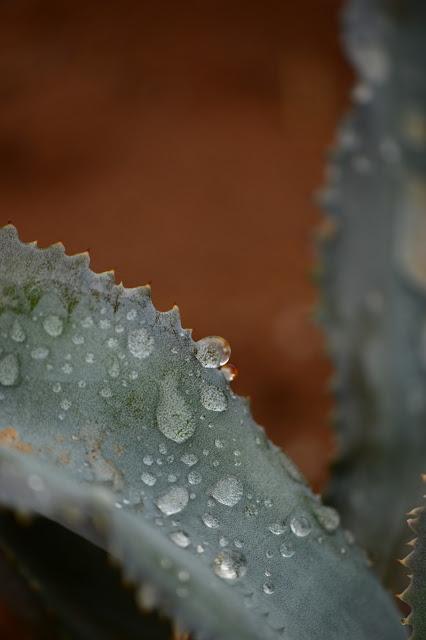 garden bloggers foliage day, gbfd, raindrops, photography, amy myers, desert garden, small sunny garden, agave, marmorata