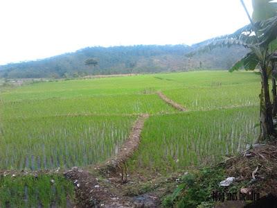 Foto Sawah di Tegal - Blog Mas Hendra